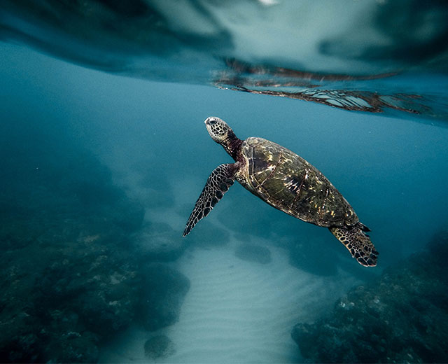 sea turtle swimming in the ocean towards the surface