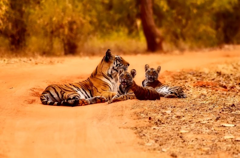 family of tigers in the wild